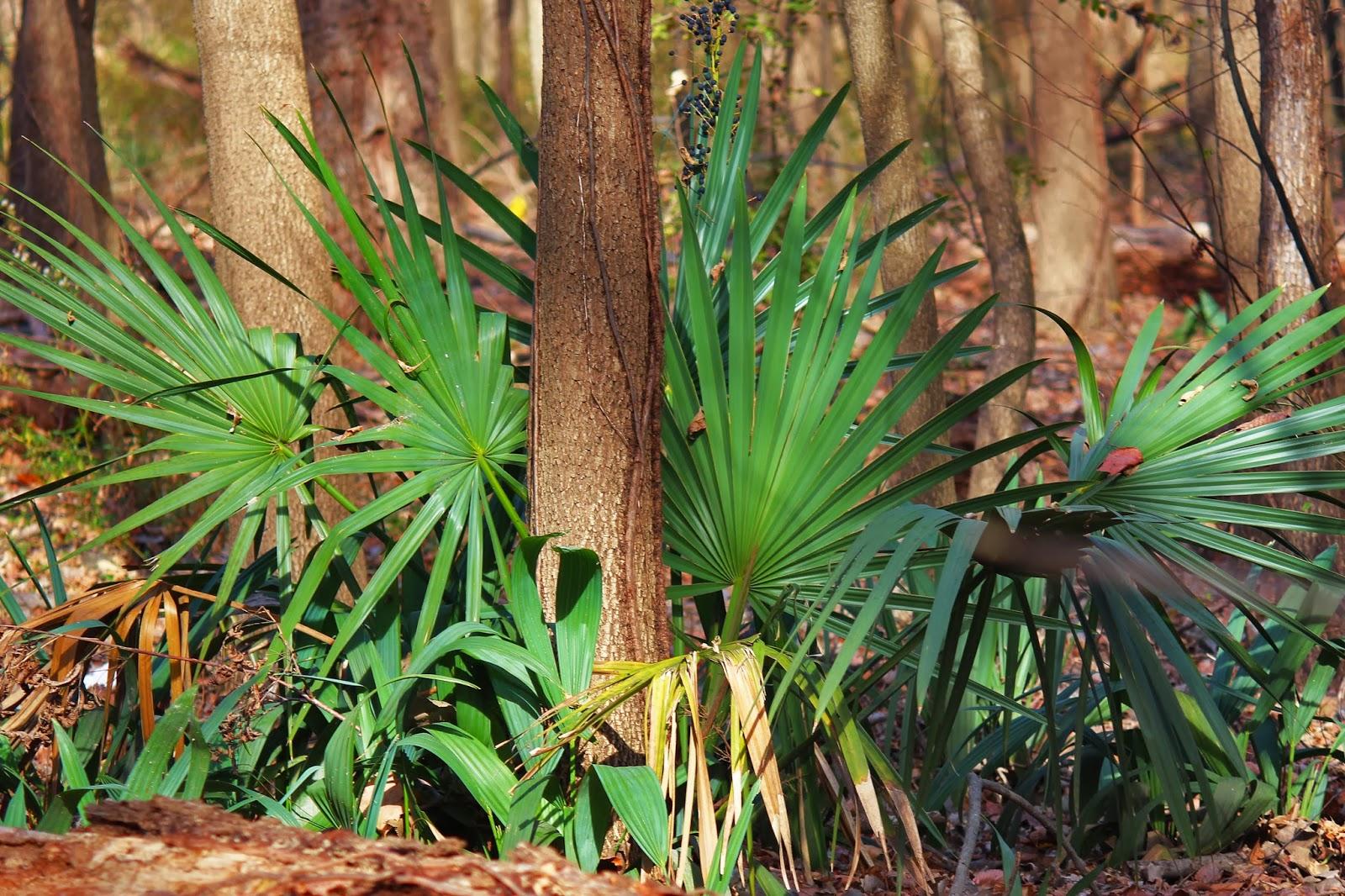 dwarf palmetto